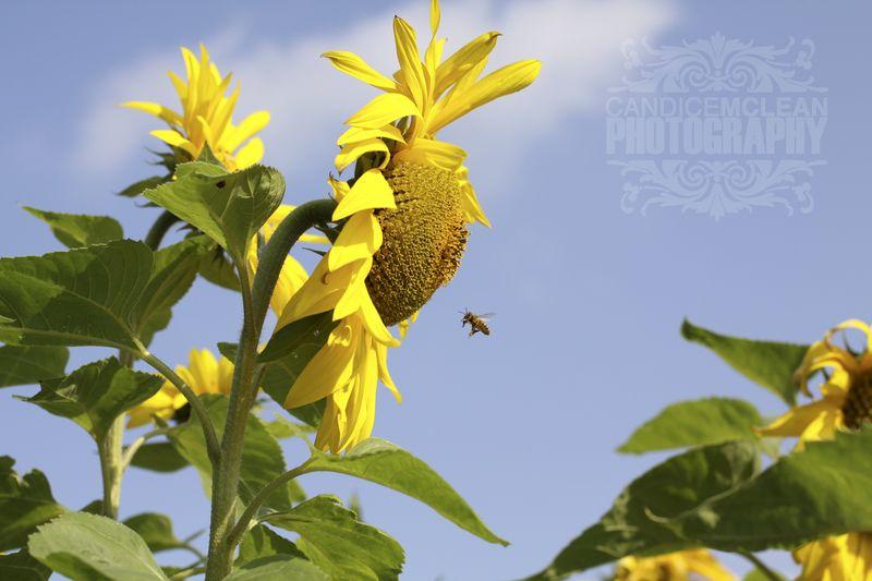 Sunflower_4