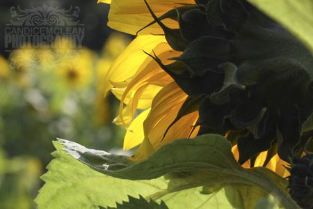 Sunflower_7