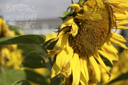 Sunflower_6