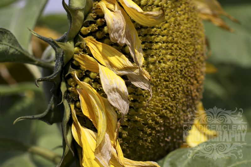 Sunflower_8